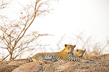 Two Leopards (Panthera pardus) lay on a rock looking at the camera, Northern India, Rajasthan, India