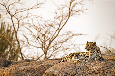 Leopard (Panthera pardus) lays on a rock looking to the left, Northern India, Rajasthan, India