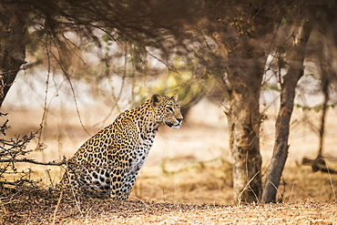 Leopard (Panthera pardus) sits under a tree looking to the right, Northern India, Rajasthan, India