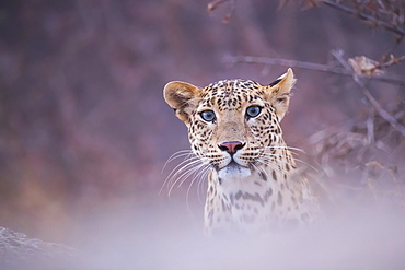 Leopard (Panthera pardus) looking at the camera, Rajasthan, India