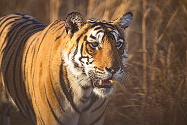 Bengal tiger (Panthera tigris tigris), Ranthambore National Park, India