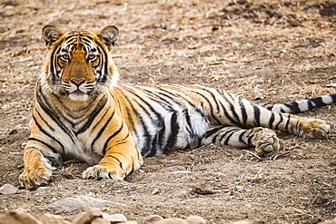 Bengal tiger (Panthera tigris tigris), Ranthambore National Park, Rajasthan, India