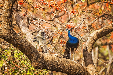 Peacock (Pavo cristatus) standing on a tree branch in Ranthambore National Park, Northern India, Rajasthan, India