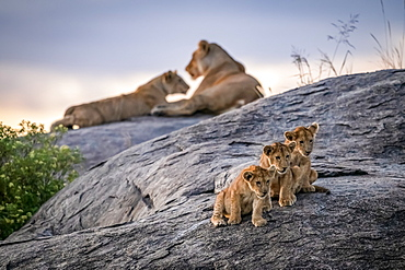Three lion cubs (Panthera leo) sitting on a rock looking out with two lionesses in the background at dusk, Serengeti, Tanzania