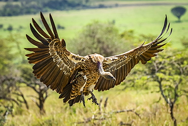 White-backed vulture (Gyps africanus) stretches it's wings to land, Serengeti, Tanzania