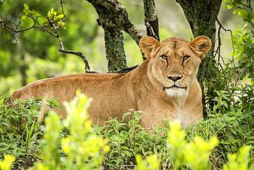Lioness (Panthera leo) lies eyeing camera in leafy bushes, Serengeti, Tanzania