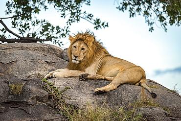 Male lion (Panthera leo) lies on a rock looking at the camera, Serengeti, Tanzania