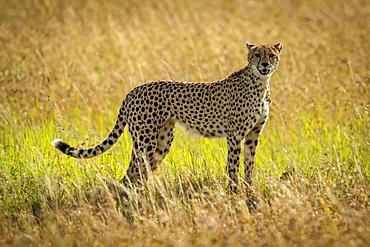 Cheetah (Acinonyx jubatus) stands eyeing camera in long grass, Serengeti, Tanzania