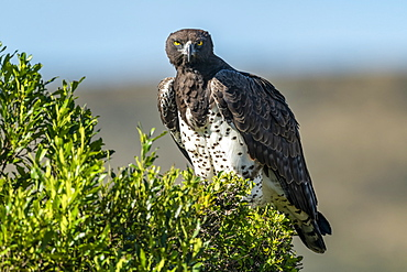 Martial eagle (Polemaetus bellicosus) eyes camera from leafy bush, Serengeti, Tanzania