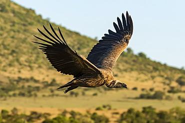 African white-backed vulture (Gyps africanus) flying over grassy hillside, Serengeti, Tanzania
