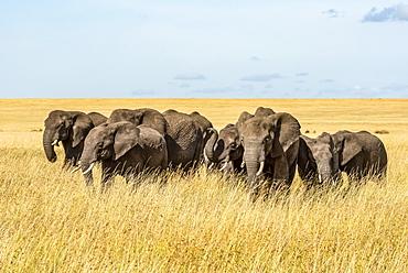 Elephant herd (Loxodonta africana) cross grassy plain in sunshine, Serengeti, Tanzanai
