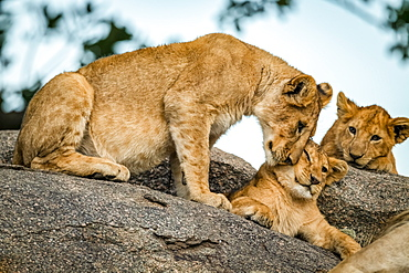 Lion cub (Panthera leo) nuzzles another as sibling watches, Serengeti, Tanzania