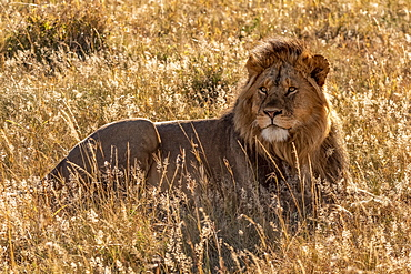 Male lion (Panthera leo) lying in grass looking up, Serengeti, Tanzanai