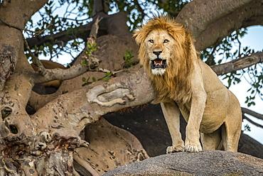 Male lion (Panthera leo) stands on rock beside tree, Serengeti, Tanzania