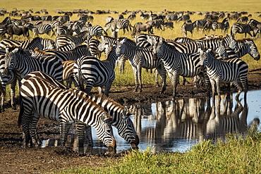 Plains zebra (Equus quagga) drink from puddle on track, Serengeti, Tanzania