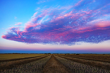 Swathed canola field at sunset with glowing pink clouds, Legal, Alberta, Canada