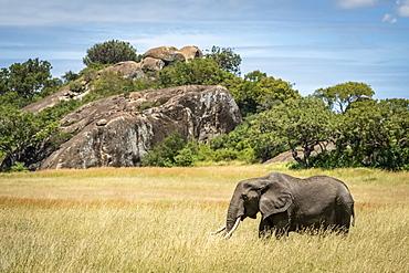 African elephant (Loxodonta africana) walks past kopje in grass, Serengeti, Tanzania