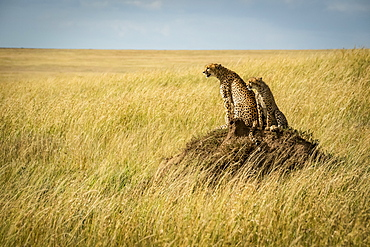 Cheetah (Acinonyx jubatus) and cub sit on termite mound, Serengeti, Tanzania