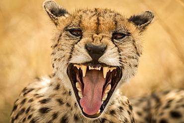 Close-up of female cheetah (Acinonyx jubatus) yawning at camera, Serengeti, Tanzania