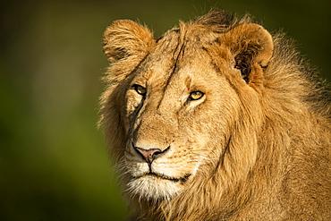 Close-up of male lion (Panthera leo) head and shoulders, Serengeti, Tanzania