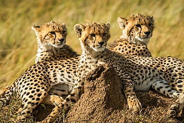 Close-up of three cheetah cubs (Acinonyx jubatus) lying together, Serengeti, Tanzania