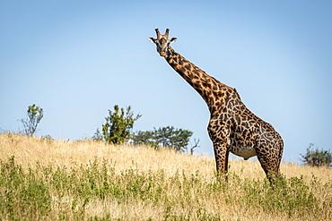 Masai giraffe (Giraffa camelopardalis tippelskirchii) stands watching camera on hillside, Serengeti, Tanzania