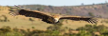Panorama of African white-backed vulture (Gyps africanus) over savannah, Serengeti, Tanzania