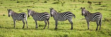 Panorama of four plains zebra (Equus quagga) eyeing camera, Serengeti, Tanzania