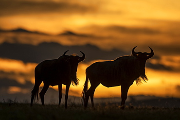 Two blue wildebeest (Connochaetes taurinus) stand silhouetted at sunset, Serengeti, Tanzania
