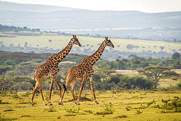 Two Masai giraffe (Giraffa camelopardalis tippelskirchii) walking across grassy plain, Serengeti, Tanzania