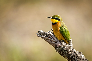 Little bee-eater (Merops pusillus) on dead branch facing left, Serengeti, Tanzania