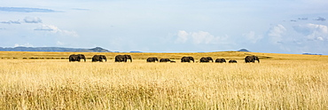 Panorama of elephant herd (Loxodonta africana) crossing grassy plain, Serengeti, Tanzania