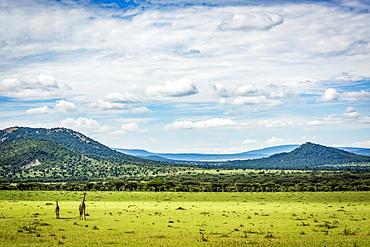 Two Masai giraffe (Giraffa camelopardalis tippelskirchii) stand with hills behind, Serengeti, Tanzania
