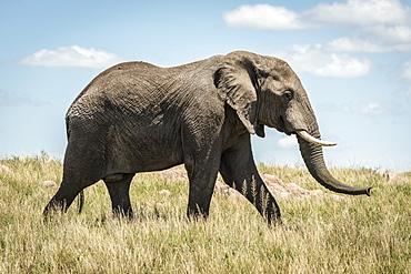 African elephant (Loxodonta africana) walking past in long grass, Serengeti, Tanzania