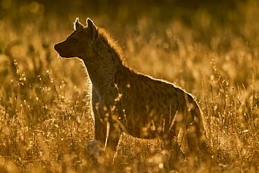 Backlit spotted hyena (Crocuta crocuta) standing in long grass, Serengeti, Tanzania