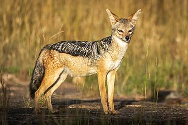 Black-backed jackal (Canis mesomelas) stands in sunshine watching camera, Serengeti, Tanzania