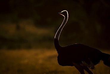 A male ostrich (Struthio camelus) stands silhouetted by the golden light of the sun at dawn. He has black feathers and a long, slim, pink neck, in the Serengeti, Tanzania
