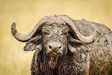 Close-up of Cape buffalo (Syncerus caffer) head and horns covered in mud, Serengeti, Tanzania