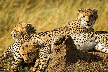 Close-up of Cheetah cubs (Acinonyx jubatus)near termite mound, Serengeti, , Tanzania