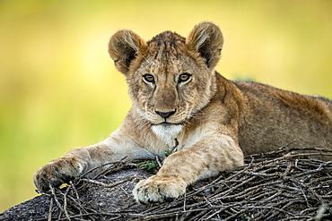 Close-up of lion cub (Panthera leo) lying on sticks, Serengeti, Tanzania
