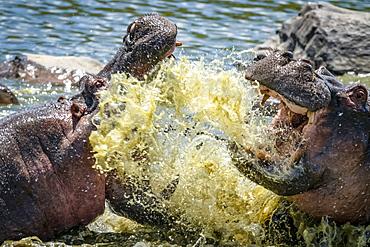 Close-up of two hippo (Hippopotamus amphibius) fighting and splashing in water, Serengeti, Tanzania