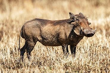 Common warthog (Phacochoerus africanus) eyes camera in burned grass, Serengeti, Tanzania