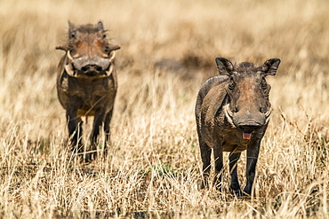 Common warthog (Phacochoerus africanus) eyes camera with another behind, Serengeti, Tanzania