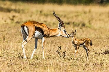 Female Thomson gazelle (Eudorcas thomsonii) bends to kiss baby, Serengeti, Tanzania