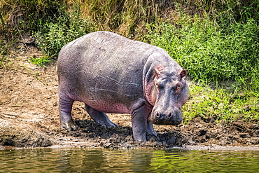 Hippopotamus (Hippopotamus amphibius) turns towards camera on river bank, Serengeti, Tanzania