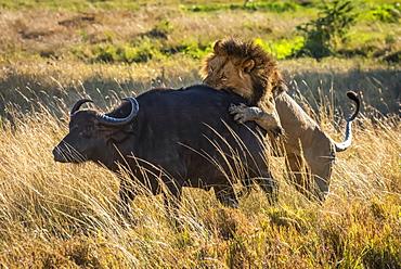 Male lion (Panthera leo) attacks Cape buffalo (Syncerus caffer) from behind, Serengeti, Tanzania
