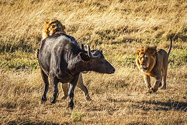 Male lion (Panthera leo) bites Cape buffalo (Syncerus caffer) from behind with another lion nearby, Serengeti, Tanzania