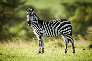 Plains zebra (Equus quagga) stands in grass eyeing camera, Serengeti, Tanzania