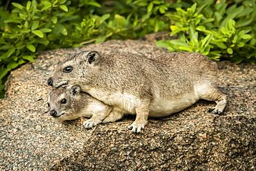 Rock hyrax (Procavia capensis) lies on another on rock, Serengeti, Tanzania