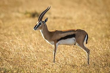 Thomson's gazelle (Eudorcas thomsonii) stands in profile in grass, Serengeti, Tanzania